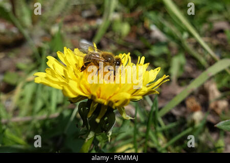 Berlin, Germany, bee collects nectar from a lewenzahnbluete - Stock Photo