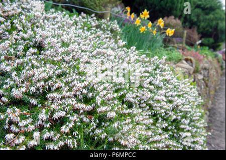 Erica carnea, flowering plant aka Springwood White, Winter Heath, Snow Heath, and Heather, with abundant small, urn-shaped, silvery white flowers - Stock Photo