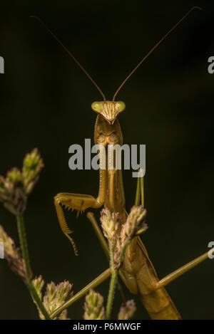 The Chinese mantis (Tenodera sinensis) is an introduced species in the USA, it is commonly used as a natural form of pest control. - Stock Photo