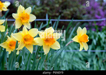 Yellow blossom flowers of Trumpet Daffodil or Narcissi with orange red corona cup in a garden - Stock Photo