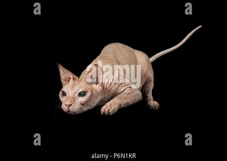 Sphynx cat on the hunt - isolated on black background. - Stock Photo