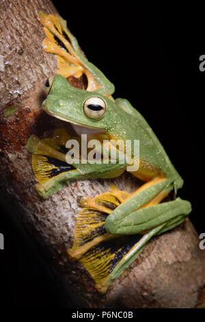 Wallace's flying frog Rhacophorus nigropalmatus - Stock Photo