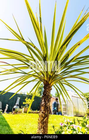 Cordyline, Cordyline plant, Cordyline leaves, Asparagaceae, Asparagales, woody monocotyledonous flowering plant, Cordylines, plants, plant, leaves, - Stock Photo