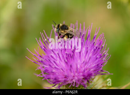 Macro/ close-up of a Western honey bee collecting pollen from a spear thistle flower - Stock Photo