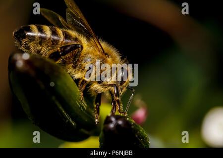 honey bee macro - Stock Photo