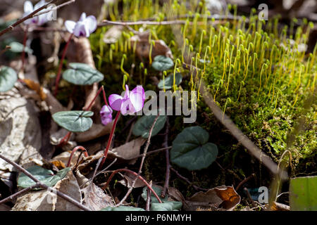 Wild pink cyclomene in the Caucasus Mountains - Stock Photo