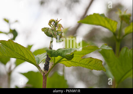 Farming of black apterous aphids by ants for their secretions of honey dew, being cultivated at the growing tips of Viburnum opulus, Guilder rose - Stock Photo