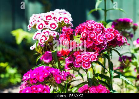 Sweet Williams flowers, Dianthus barbatus Sweet William flowers in Summer, Sweet William plants, flowering Sweet William plants, flowers, plants, - Stock Photo