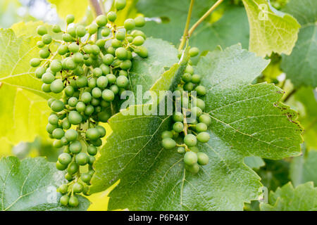 young green Pinot Noir grapes on a grapevine in a Swiss vineyard growing fast - Stock Photo