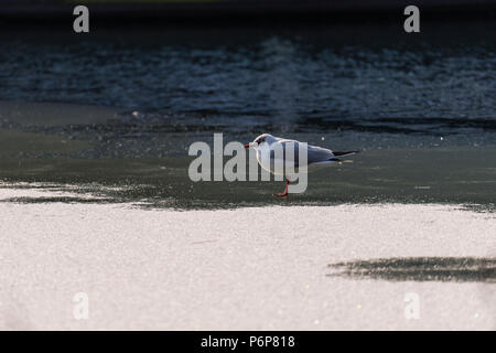 Black-headed gull (Chroicocephalus ridibundus). Adult winter plumage. - Stock Photo