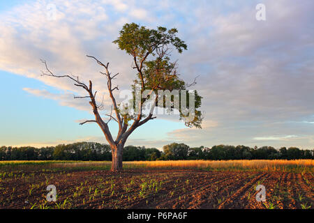 Old tree standing in the wheat field on sunset - Stock Photo