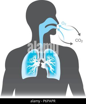 The lungs are the primary organs of respiration in humans. Mono tone black and blue colour. - Stock Photo