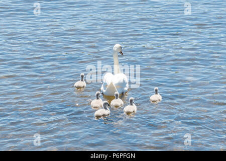 Mute swan - cygnus olor - pen (female) and cygnets (babies) - Stock Photo