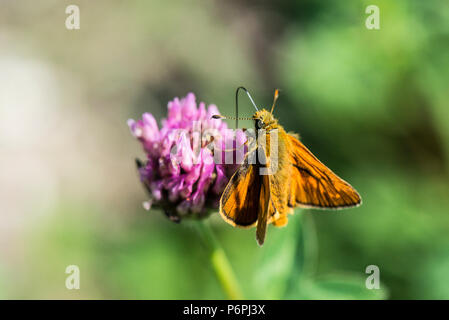 A male large skipper butterfly (Ochlodes sylvanus) on the flower of a red clover (Trifolium pratense) - Stock Photo