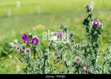 A musk thistle (Carduus nutans) with a female large white butterfly (Pieris brassicae) on one of the flower heads - Stock Photo
