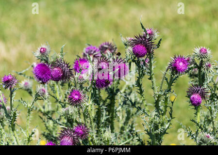 Musk thistle flower heads (Carduus nutans) with bees on - Stock Photo