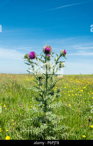 A musk thistle (Carduus nutans) - Stock Photo