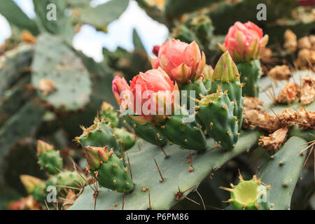 Blooming Prickly Pear with cactus fruits and flowers - Stock Photo