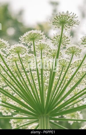 Heracleum mantegazzianum, Giant Hogweed Plant - Stock Photo