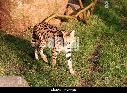 Female African Serval (Leptailurus serval) walking towards the camera - Stock Photo