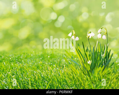 Snowdrops white flowers on the spring blurred grass lawn background - Stock Photo