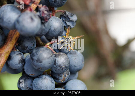 Wasp feeding on red grape - Stock Photo