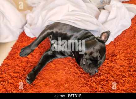 cute black staffordshire bull terrier dog lying on a red rug on a bed room floor sleeping under sheets and a duvet cover taken off the bed for laundry - Stock Photo