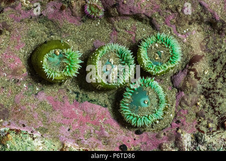 Giant Green Anemone, Anthopleura xanthogrammica, with Pink Rock Crust, Lithothamnium pacificum (or related species), aka Encrusting Coral, at Point of - Stock Photo