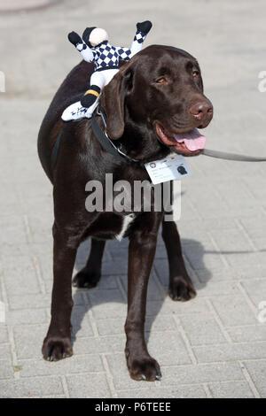 Hamburg, watchdog Paul with Jockeypuppe on his back - Stock Photo
