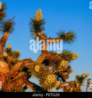 Moonrise, Joshua Tree National Park, California - Stock Photo