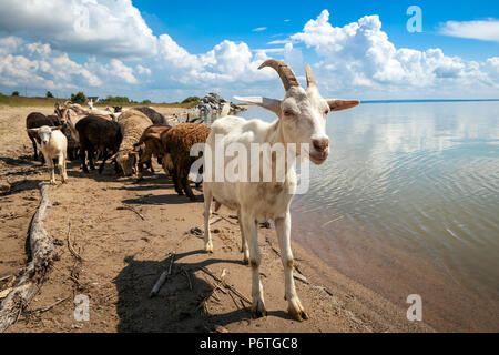 Close-up of a white goat looks at the camera, in the background a flock of sheep and goats drinks water from a river on a warm summer day - Stock Photo