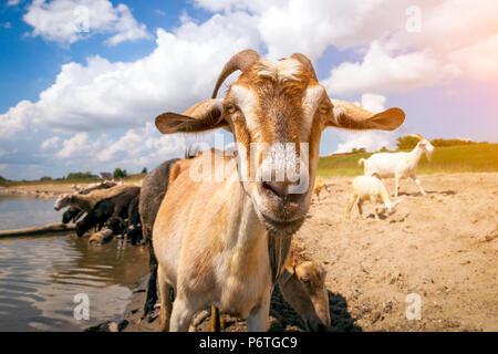 Close-up of a brown goat looks at the camera, in the background a flock of sheep and goats drinks water from a river on a warm summer day - Stock Photo