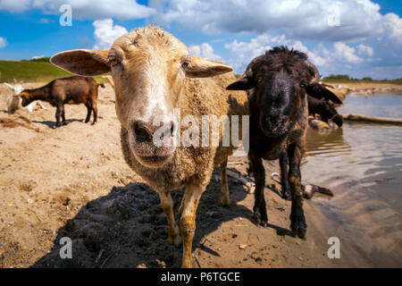 Close-up of a brown  and  black sheeps  looks at the camera, in the background a flock of sheep and goats drinks water from a river on a warm summer d - Stock Photo