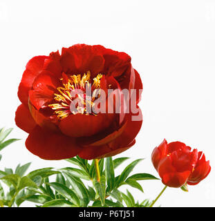 Red peony flower isolated on white background Stock Photo