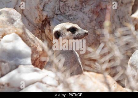 Meerkat or Suricat - Suricata suricatta - head showing, alert, from behind while quartz rocks. Kalahari Namibia - Stock Photo
