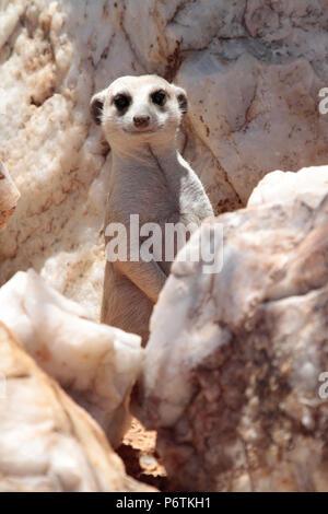 Meerkat or Suricat - Suricata suricatta - sitting up alert surrounded by white quartz rock.  Kalahari Namibia. Portrait shot - Stock Photo