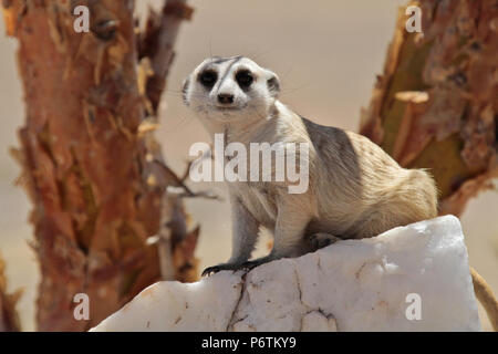 Meerkat or Suricat - Suricata suricatta -  crouched on white, quartz rock, looking around. Kalahari Namibia - Stock Photo