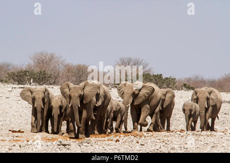 African Elephants - Loxodonta - breeding herd on the move - Stock Photo