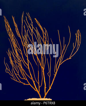 Gorgonian Sea Fan Yellow coral (Leptogorgia viminalis). Spain. Europe - Stock Photo
