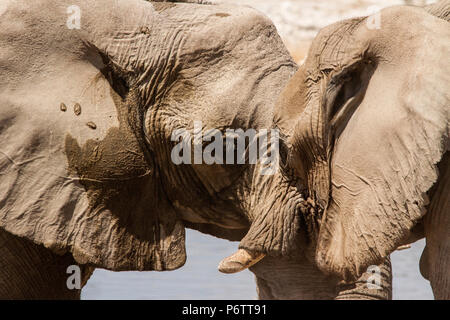 Two African Elephants - Loxodonta -  head to head, eye to eye - in affection or confrontation? - Stock Photo
