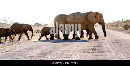Breeding herd of African Elephants - Loxodonta - with babies crossing a dirt or gravel road in Etosha - Stock Photo