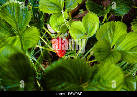 Plant of red strawberries with their leaves and stems - Stock Photo