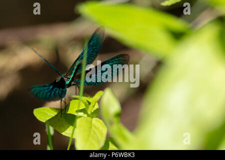 Very narrow depth of field photo with an off centered Beautiful damoiselle stretching its winds. - Stock Photo