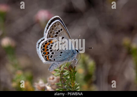 Close-up photo of male Silver-studded blue nectaring on heather. Shot with narrow depth of field on Canford heath nature reserve, Poole. - Stock Photo