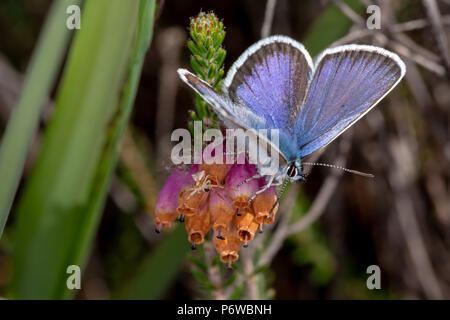 Close-up photo of pink heather bells with Crab spider and Silver-studded blue butterfly sat side-by-side. Taken on Canford heath nature reserve, Poole - Stock Photo