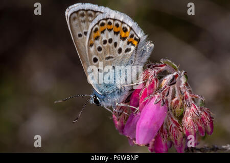Macro photo of perched male Silver-studded blue butterfly on pink heather bell flowers. Taken on Canford heath nature reserve, Poole. - Stock Photo