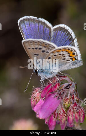 Macro portrait photo of perched male Silver-studded blue butterfly on pink heather bell flowers. Taken on Canford heath nature reserve, Poole. - Stock Photo