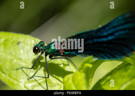 Macro photo of perched male Beautiful Damoiselle focused on head. - Stock Photo