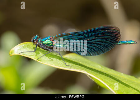 Close-up photo of perched male Beautiful damoiselle with skeleton-like wings. - Stock Photo