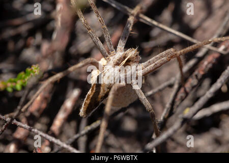 Close-up photo of adult female Nursery web spider with an egg sac hung below her body. Found on canford heath nature reserve, Poole. - Stock Photo